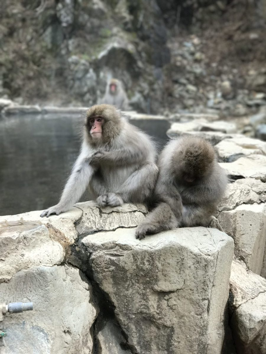 the snow monkeys sitting by the hot springs in nozawa onsen japan in the monkey park