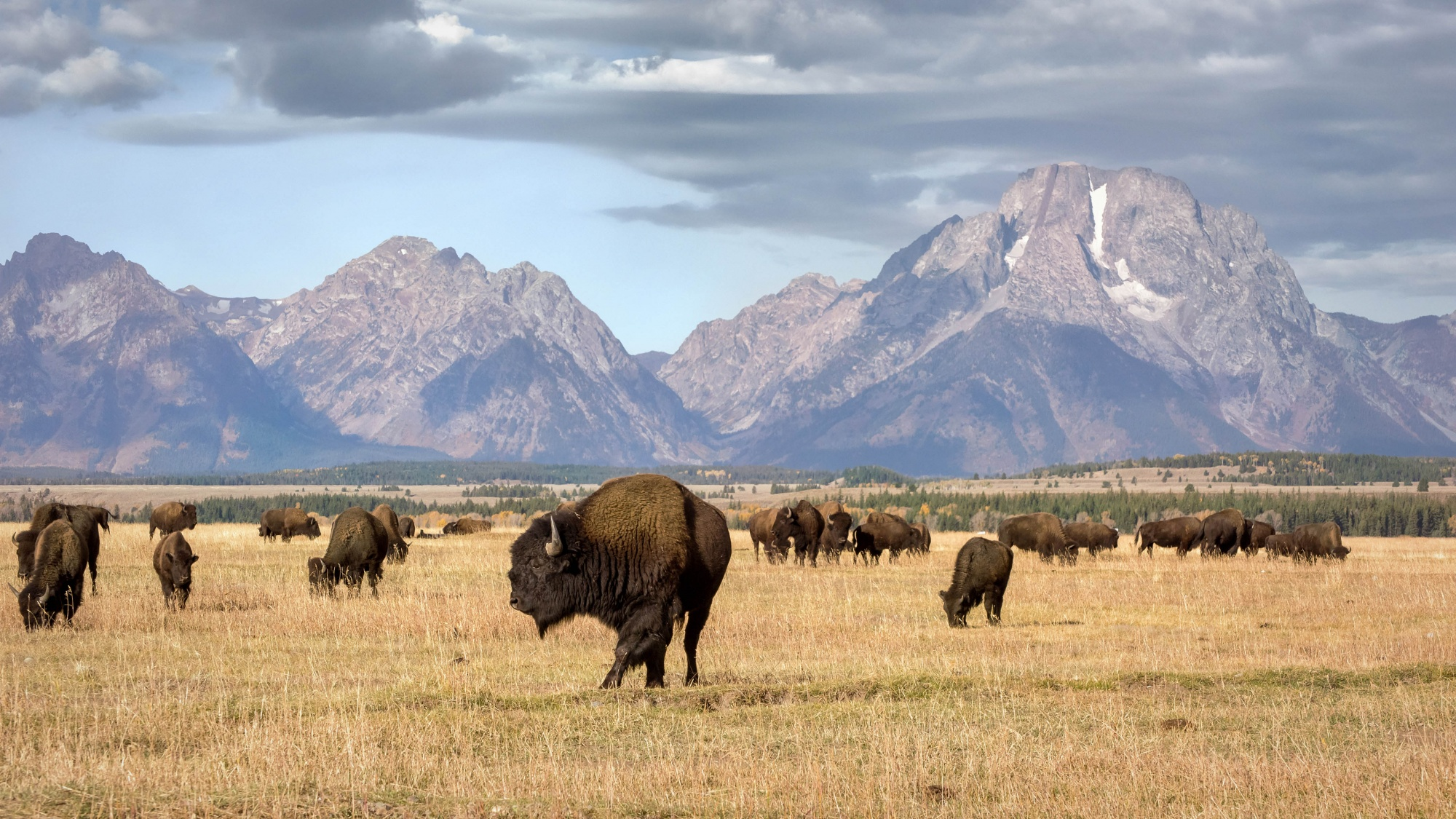 Best remote destinations, wild bison roaming freely in Grand Teton National Park Wyoming