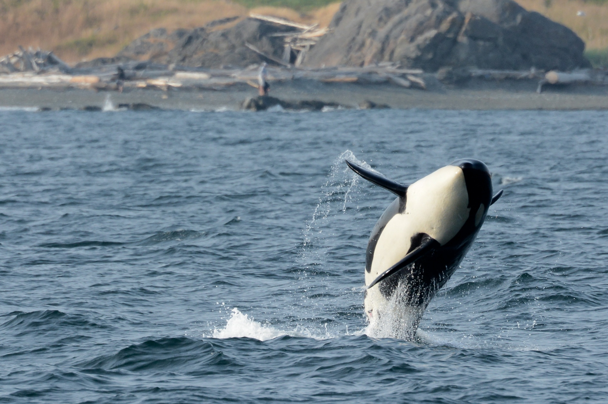 Best remote destinations, orca whale jumping out of the ocean in the San Juan Islands Washington near Victoria Canada